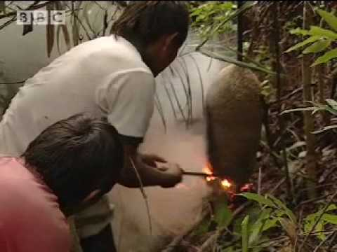 Smoking Out a Wasp Nest for larvae - Ray Mears Extreme Survival - BBC