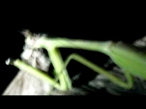 praying mantis chewing the head off of a moth