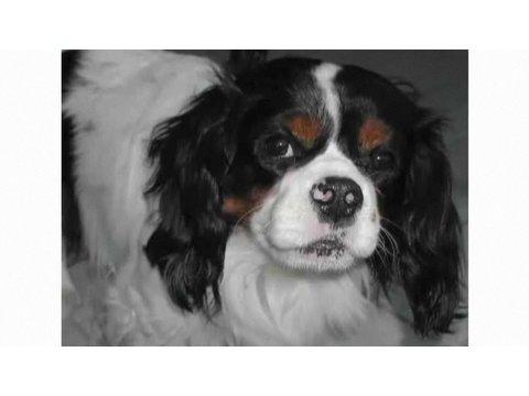 Understanding Dog Breeds: Cavalier King Charles Spaniel
