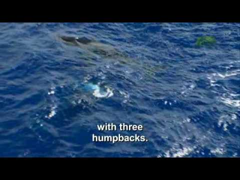 Whale Wars: Breaching Humpback Whales