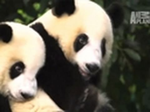 Wild Kingdom- Mysterious Wild Pandas