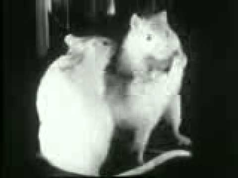 Competition and Dominance Hierarchies in Rats (1940)