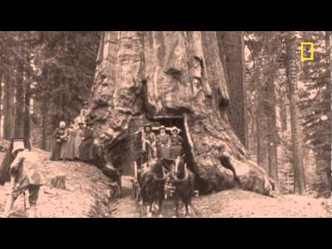Giant Sequoias Need Fire