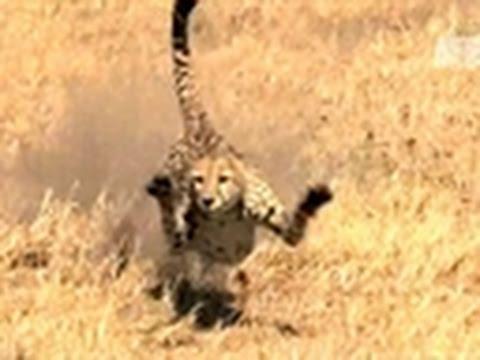 I, Predator- Cheetah vs. Warthog
