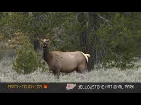 Elk cow on the lookout for danger