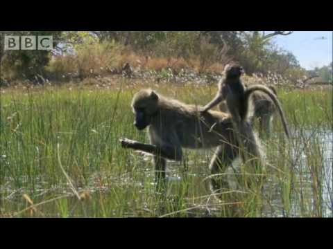 Baboons wading through water - Planet Earth - BBC animals & wildlife