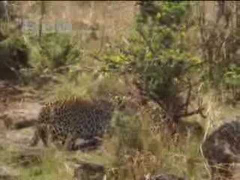 Leopard stealth and camouflage - BBC wildlife