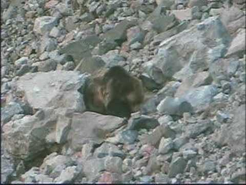 NATURE | The Good, The Bad, and the Grizzly | Prey | PBS