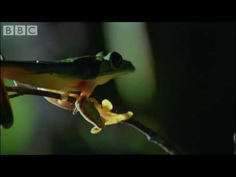 Rare frogs & endangered species - Planet Earth - BBC wildlife