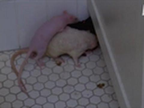 Room Full of Rats   My Extreme Animal Phobia