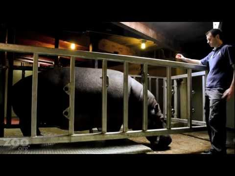 How Do You Weigh A Hippo?!