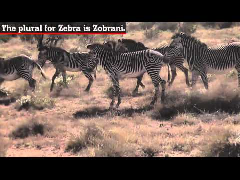 Zebra - Fun Facts
