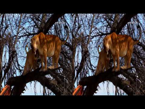 Tree-climbing lions in 3D