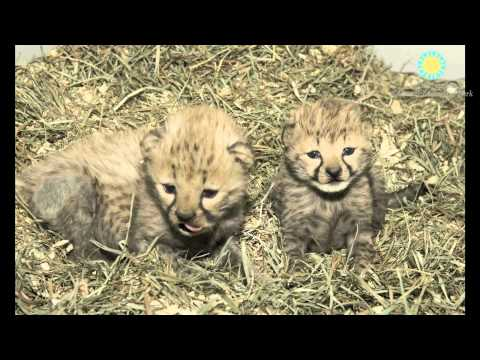 Cheetah Cubs Born at Smithsonian's National Zoo!
