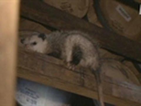 High Wire Opossum Catching | Call of the Wildman
