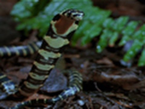 King Cobra vs. Olive Water Snake
