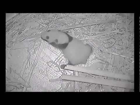 Panda Cub Update August 20, 2012