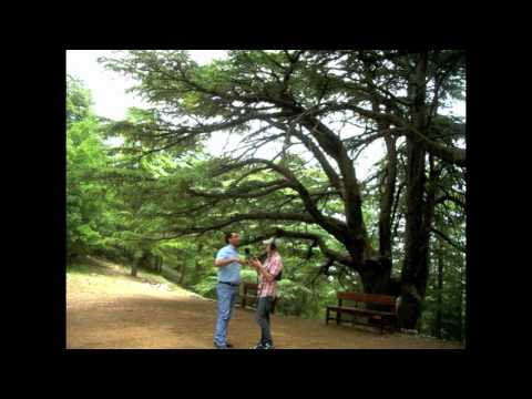 The World: Cedar Trees in Lebanon