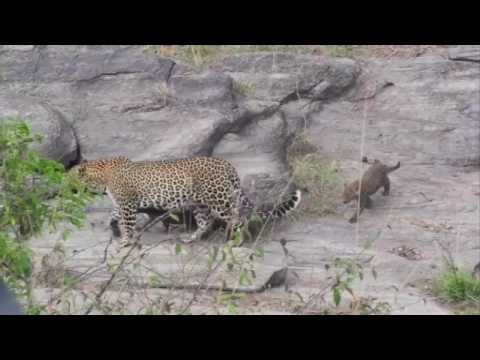 Leopard & Cubs - Safari Sunday