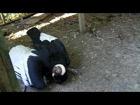 How many gizzards can my pet Andean condor eat? Place your bets