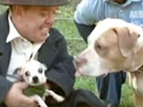Pit Boss- Bait Chihuahuas