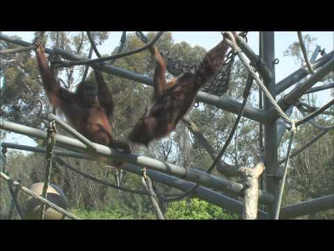 San Diego Zoo Kids - Orangutans & Siamangs
