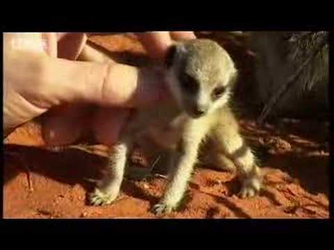 Adorable baby meerkats explore the African wild for the first time - BBC wildlife