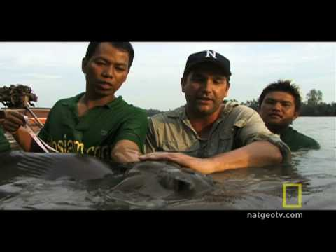 Search for the Giant Stingray