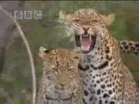 Social behavior of lions, leopards and cheetahs - BBC wildlife
