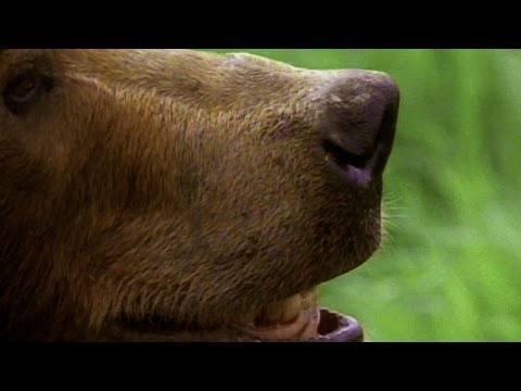 World's Deadliest - Grizzly Hunts with Nose