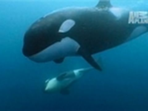 Wild Kingdom- Orca Matriarch