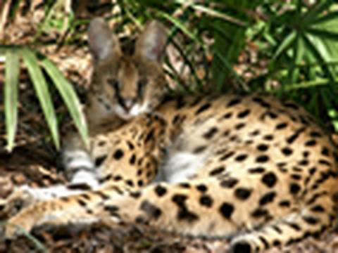 3 Legged SERVAL Rescued!