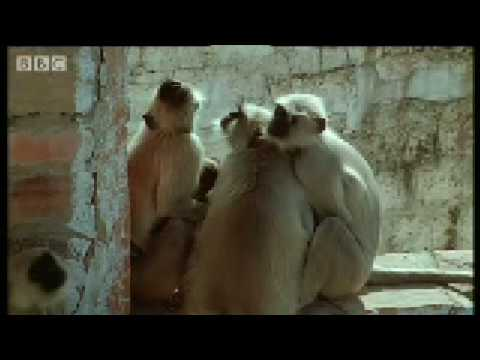 Monkey leader battle - Monkey Warriors - BBC animals