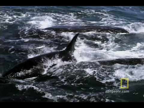 Killer Whales vs. Gray Whales