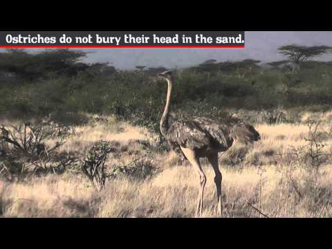 Ostrich - Fun Facts