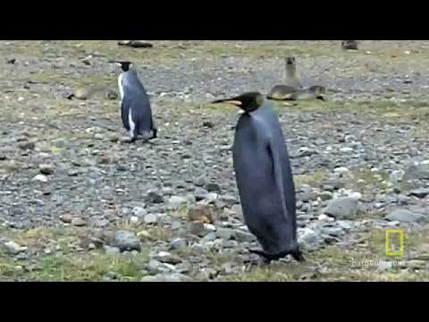 Mutant All-Black Penguin Found