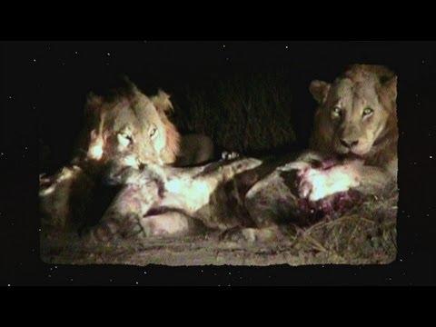 Lion Brawl
