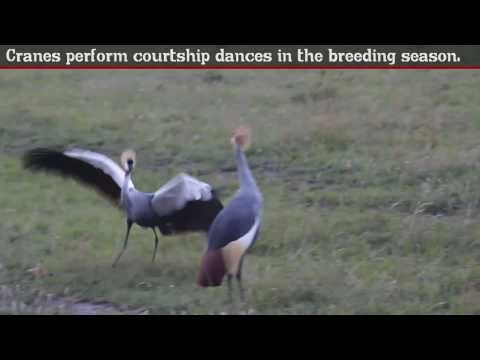 Black Crowned Crane - Fun Facts