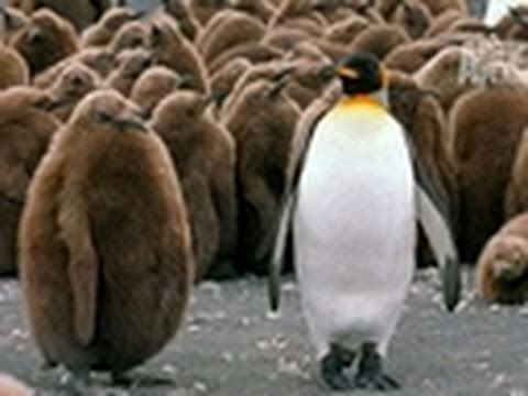 Wild Kingdom- King Penguins and Their Chicks