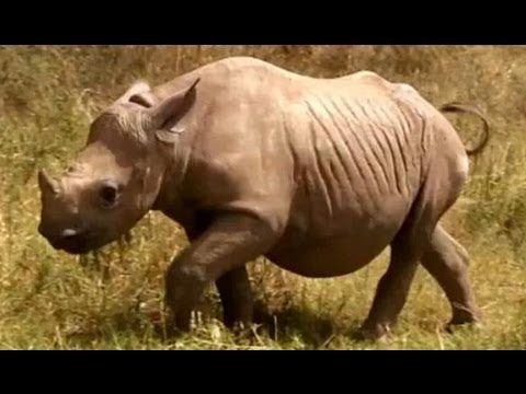 Rhino Tracking Part 1 - Mission Africa - BBC