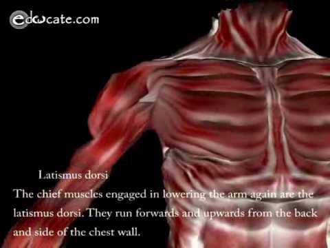 Human Anatomy - Arm