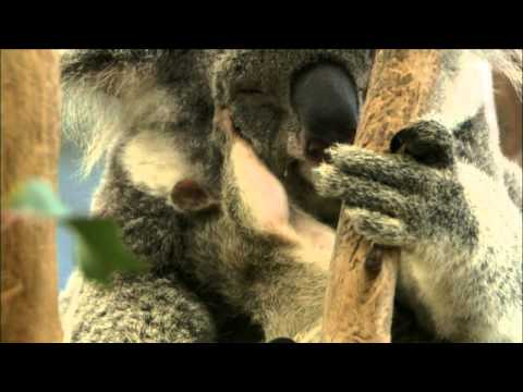 Nature | Cracking the Koala Code | Preparing for a Eucalyptus Diet | PBS