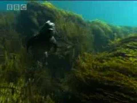 Marine iguanas of the Galapagos islands - BBC wildlife