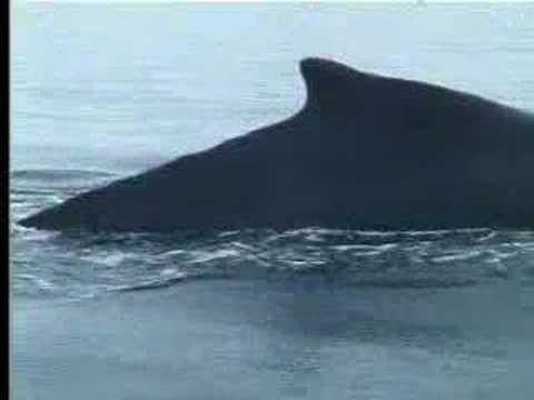 Penguins, humpback whales and seals feeding in the ocean - David Attenborough - BBC wildlife