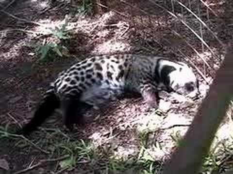 "The ""Other"" Animals- Big Cat TV"