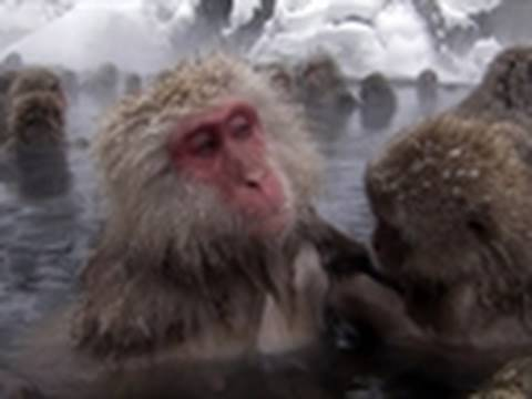 Life - Snow Monkeys Soak in Thermal Spa | Primates