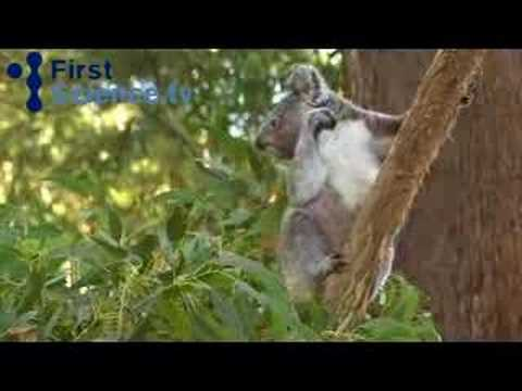 Feeding Koalas