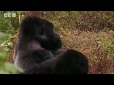 Sigourney Weaver talks gorilla and visits the local population - BBC wildlife