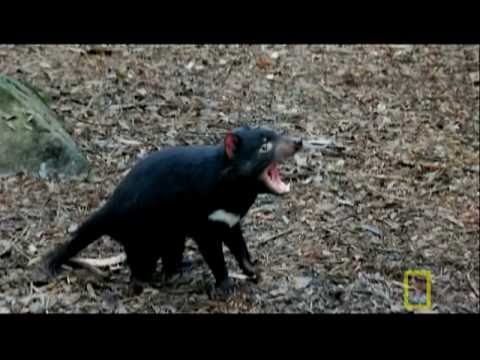 Bite of the Tasmanian Devil