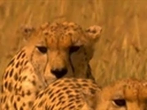 Cheetahs vs. Hyena | Wild Kingdom